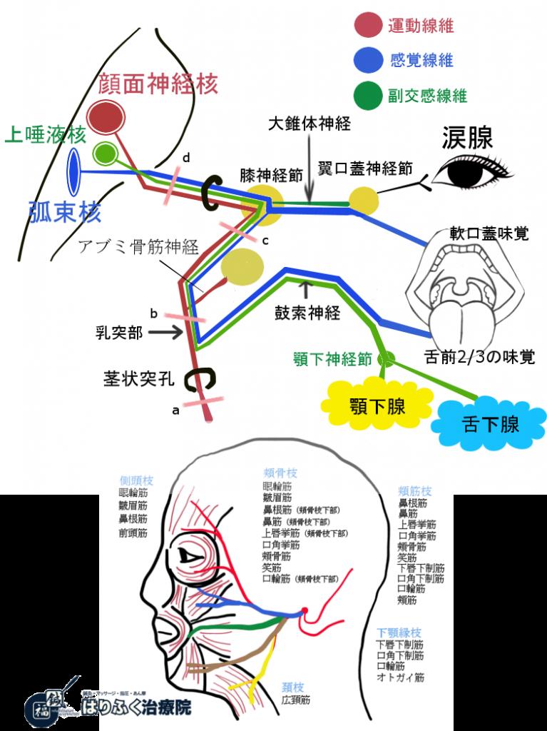 顔面神経の走行と損傷箇所による症状の出現