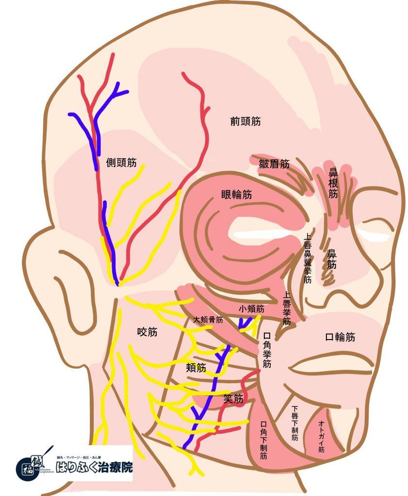 顔面神経麻痺になったときに知っておくと改善が進む表情筋の名称と働き