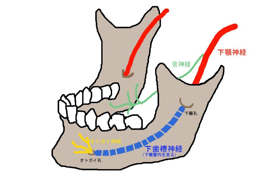 下歯槽神経の走行と名前の変わるポイントです